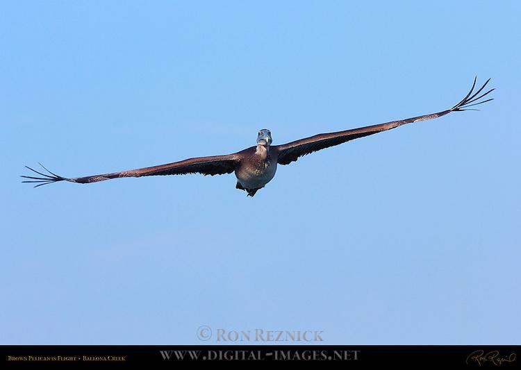 Brown Pelican in Flight (head-on), Ballona Creek, Southern California