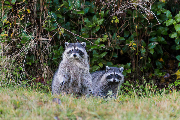 Raccoons (Procyon lotor)--mother with 3/4 grown kit.  Pacific Northwest.  Fall.