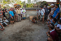 Bali, Indonesia.  Cock Fighting in an Indonesian Village.