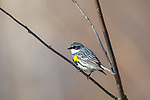 Male yellow-rumped warbler foraging in northern Wisconsin.
