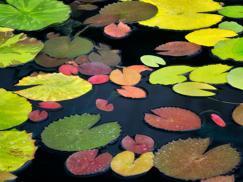 Pattern of water lily leaves. Oregon