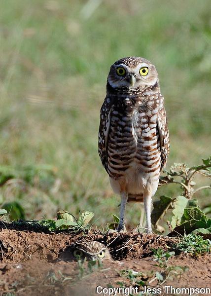 Burrowing Owls, Clarendon, TX