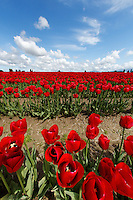 Field of red tulips below blue sunny sky with some clouds, Skagit Valley, Mount Vernon, Washington, USA
