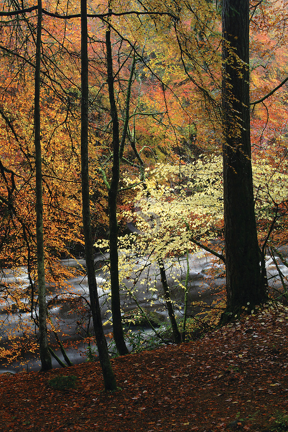 Autumn Woodland and the River Dee near Ballater, Cairngorm National Park, Aberdeenshire