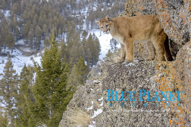 Puma (Felis concolor), adult, standing on rock, snow covered habitat, USA, America, North America
