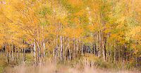 Old, abandoned road through aspen tree grove in autumn, golden yellow fall color near Como, colorado