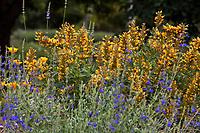 Agastache 'Kudos Gold' Anise Hyssop, Hummingbird Mint flowering perennial in Crescent Farm demonstration garden, Los Angeles County Arboretum and Botanic Garden
