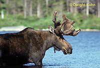 MS01-044z  Moose - bull (male) feeding at Sandy Stream Pond in Baxter State Park, Maine - Alces alces