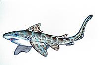 illustration, Palaeocarcharias, fossil shark, primitive relative of modern bull sharks and hammerheads, Eichstatt, Germany, size 86 cm, Lake Jurassic, 150 MYA
