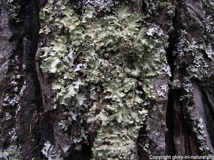 An interesting pattern made by this fungus on the tree bark.