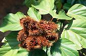 La Lope, Gabon. Urucum - Bixa orellana; fully ripe brown spiny pods with seeds visible.