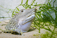 Spiny Softshell Turtle (Apalone spinifera) (c) Endangered. Showing head sticking out of sand with snorkel-like snout.