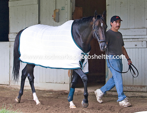 Grand Couturier walks the shedrow on the morning before his fourth Sword Dancer.