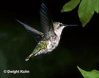 HU01-028z  Ruby-throated Hummingbird - juvenile bird in flight -  Archilochus colubris