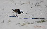 0913-0901  Ruddy Turnstone on Beach, Displaying Breeding Plummage, Arenaria interpres © David Kuhn/Dwight Kuhn Photography