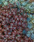 Succulents, Sedum spathulifolium, Fern Canyon Garden, Mill Valley, California
