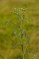 Gewöhnliches Greiskraut, Gemeines GreiskrautGemeines Kreuzkraut, Senecio vulgaris, common groundsel, Le séneçon commun