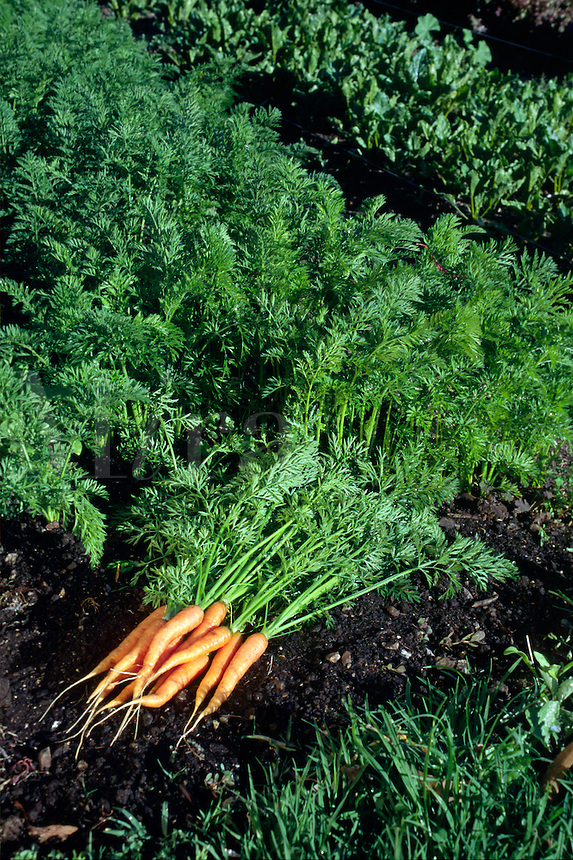 Organically grown carrots - Esalen Institute garden - Big Sur, California