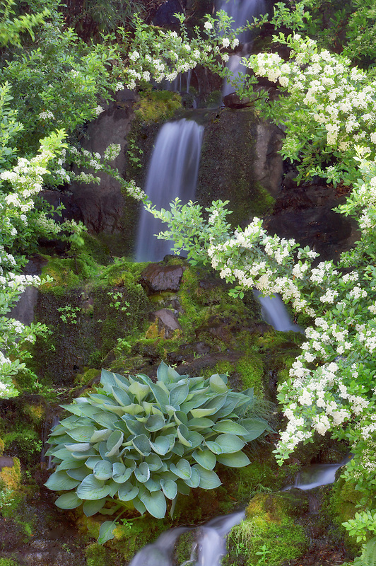 Waterfall and white flowers at Crystal Springs Rhododendron Gardens. Oregon
