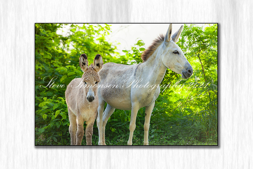 Mother and baby donkey<br /> St. John<br /> US Virgin Islands