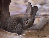 1115-0802  Desert Cottontail Rabbit (Audubons Cottontail), Sylvilagus audubonii © David Kuhn/Dwight Kuhn Photography