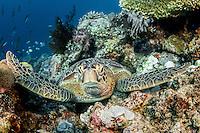 Green turtle in Nabucco / Indonesia
