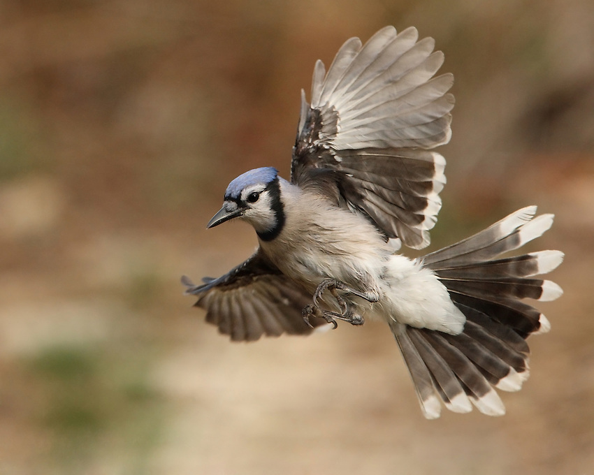 This large songbird is familiar to many people, with its perky crest; blue, white, and black plumage; and noisy calls. L'Image Magazine - Nature & Wildlife Edition.