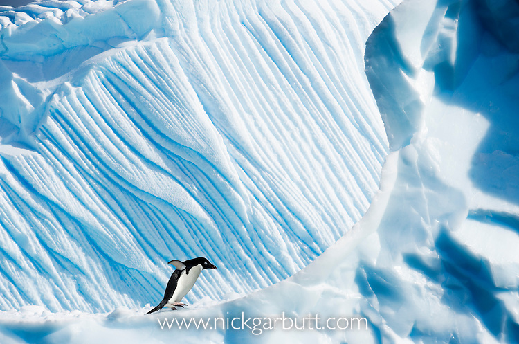Adelie Penguin (Pygoscelis adeliae) on ice berg. Yalour Islands, Antarctic Peninsula, Antarctica.
