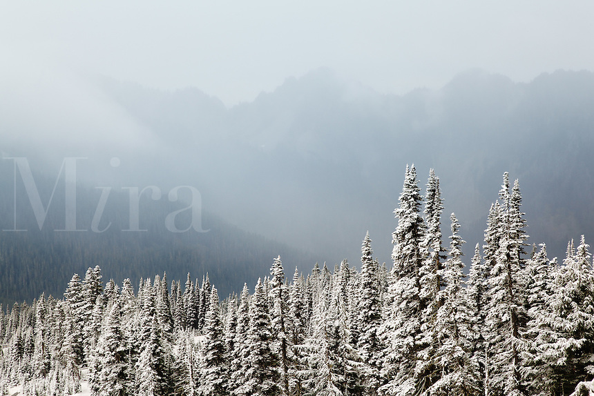 Snow coverred sub-alpine forest, Paradise, Mount Rainier National Park, Washington, USA