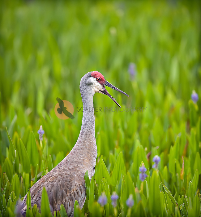 sandhill crane, calling, with  mouth open tongue visible and head down