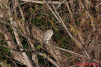 0116-08rr  Juvenile Black-crowned Night Heron - Nycticorax nycticorax © David Kuhn/Dwight Kuhn Photography