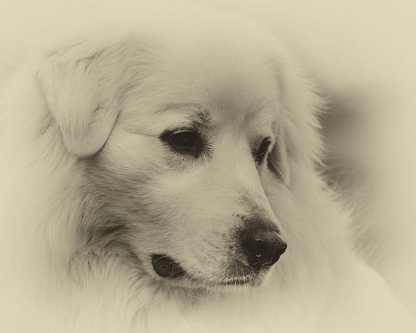 The Pyrenean Mountain Dog, known as the Great Pyrenees in North America, is a large breed of dog used as a livestock guardian dog.