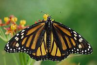 Monarch, Danaus plexippus, adult on Mexican Milkweed (Asclepias curassavica), Willacy County, Rio Grande Valley, Texas, USA, May 2006