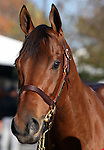 Hip #97 Dubawi Heights (GB) consigned by Castle Park Farm LLC (Noel Murphy) sold for $1,600,000 to SHADAI FARM at the Fasig Tipton November Sale on November 6, 2011.