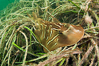 A Southern Fiddler Ray (Trygonorrhina fasciata) rests on a bed of sea grass in Edithburgh, South Australia.