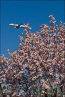 A passenger jet over magnolia blossoms near JFK airport.
