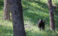 We encountered this bear during a hike. It didn't detect us right away, but went back to grazing soon after it saw us.