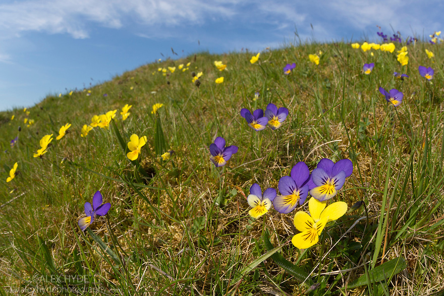 Mountain Pansy {Viola lutea}, various different yellow and purple colour forms growing together. Peak District National Park, Derbyshire, UK. May.