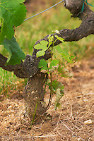 An old Merlot vine with gnarled bark and a young shoot coming from the root half of the graft, the 'American' part of the vine. This must be removed by hand since it takes energy from the vine  Chateau Bouscaut Cru Classe Cadaujac  Graves Pessac Leognan  Bordeaux Gironde Aquitaine France