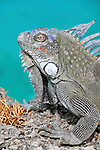 7 August 2009: The Green Iguana (Iguana iguana) is found throughout the island of Bonaire. Taken along the coral coastline at Captain Don's Habitat on the island of Bonaire, in the Netherlands Antilles. Mandatory Credit: Ed Wolfstein Photo