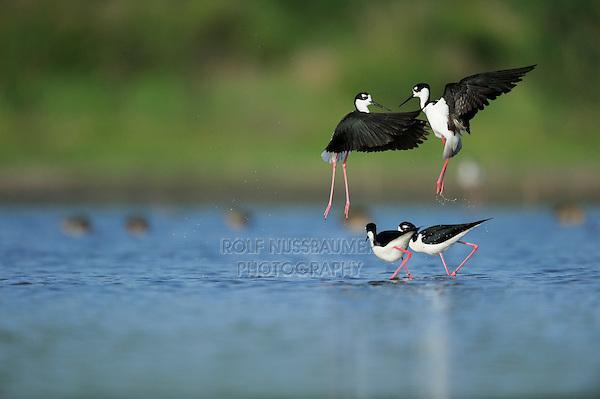 Black-necked Stilt (Himantopus mexicanus), two couples fighting, Dinero, Lake Corpus Christi, South Texas, USA