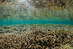 Reflection of a hard coral garden with a variety of different hard corals including table, branching, cabbage or lettuce, staghorn, and leather varieties, Acropora sp., Porites sp., Echinopora sp., Sarcophyton sp., Spice Islands, Maluku Region, Halmahera, Indonesia, Pacific Ocean