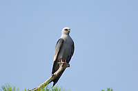 Mississippi Kite (Ictinia mississippiensis) perched high above Atchafalaya Swamp, Louisianna.