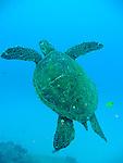 Green turtle, Kauai, Hawaii 2009