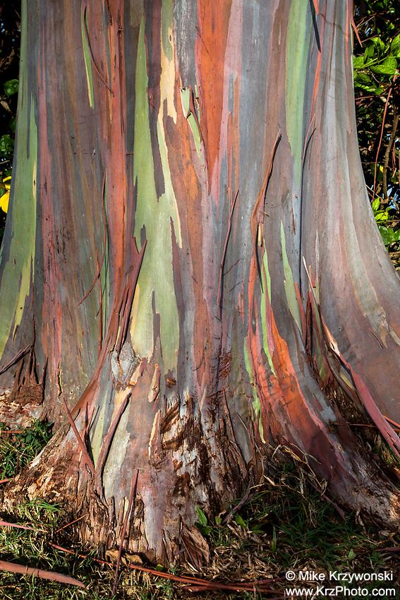 Close-up of a rainbow eucalyptus tree bark, Dole Plantation Center, Wahiawa, Oahu
