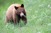 Though it still looks cute, a yearling black bear doesn't act young and playful, spending more time grazing like its mother.
