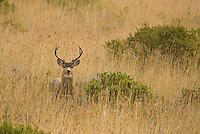 Black-tailed deer, Odocoileus hemionus, Point Reyes National Seashore, California
