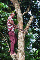 Nigeria. Enugu State. Agbani. An Igbo man chops down sick branches from a tree with a machete. 6.07.19 © 2019 Didier Ruef