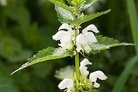 Weiße Taubnessel, Weisse Taubnessel, Lamium album, white nettle, white dead-nettle, white deadnettle
