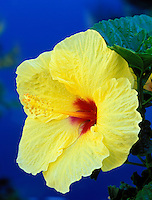 Yellow hibiscus flower. Maui, Hawaii